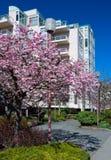 现代连栋房屋用在前面的开花的樱桃。 免版税库存照片