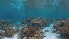 玳瑁在珊瑚礁游泳 免版税库存照片