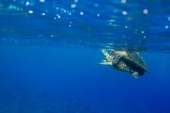 玳瑁联接在海洋的玳瑁imbricata 免版税库存图片