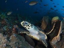玳瑁hawksbill imbricata海龟 库存照片