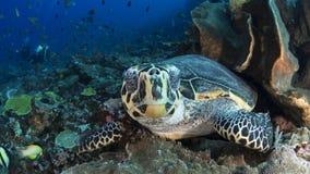 玳瑁hawksbill imbricata海龟 库存图片