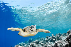 玳瑁imbricata - hawksbill海龟 库存图片