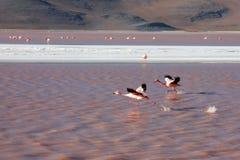 玻利维亚火鸟 库存图片