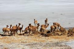 玻利维亚的撒拉尔骆马 免版税库存照片