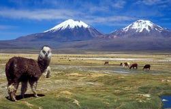 玻利维亚sajama 库存照片