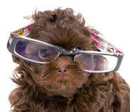 玻璃供玩赏用的小狗小狗 库存图片