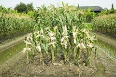 玻璃宝石玉米或甜蜡状的玉米杂种从农业玉米 免版税图库摄影