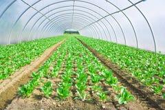 玻璃温室绿叶生长莴苣 库存照片