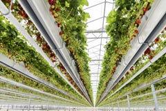 玻璃议院草莓荷兰 免版税库存照片
