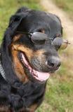 玻璃rottweiler 免版税库存照片