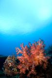 珊瑚印度尼西亚reefscape软的sulawesi 免版税图库摄影