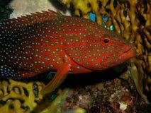 珊瑚后面石斑鱼 库存图片