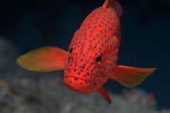 珊瑚后面石斑鱼 图库摄影