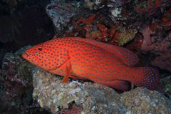 珊瑚后面石斑鱼(cephalopholis miniata) 库存图片