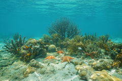 珊瑚和海星水下的加勒比海 免版税库存图片