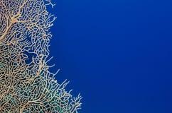 珊瑚和深刻的蓝色海洋背景 免版税库存照片