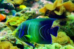 珊瑚和热带鱼 图库摄影