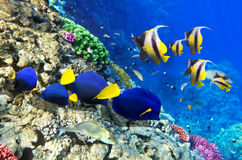 珊瑚和鱼在红海。埃及,非洲。 免版税库存照片
