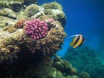 珊瑚困难红色礁石海运 免版税库存照片