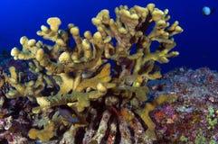珊瑚垫铁阶段 免版税库存照片