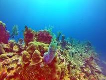 珊瑚头在伯利兹海湾海岛  库存照片