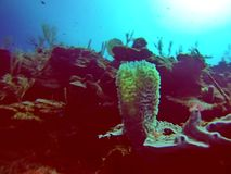 珊瑚头在伯利兹海湾海岛  免版税库存图片
