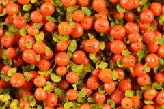 珊瑚小珠植物Nertera granadensis 免版税库存照片