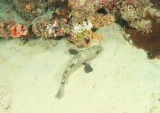 珊瑚岩石石斑鱼 库存图片
