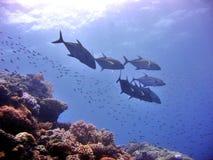 珊瑚平安的礁石 免版税图库摄影