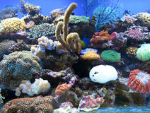 珊瑚是盐水水族馆 库存图片