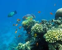珊瑚栖息处红色 免版税库存图片