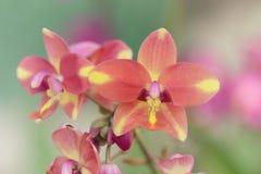 珊瑚桃红色颜色Spathoglottis或地面兰花花,软的焦点美好的花卉图象 库存照片