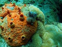 珊瑚桔子 免版税库存照片