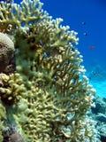 珊瑚火 免版税库存照片