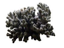 珊瑚灰色 库存图片