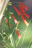 珊瑚爆竹植物 免版税库存照片