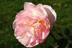 珊瑚玫瑰色花在玫瑰园里 顶视图 软绵绵地集中 免版税库存图片