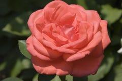 珊瑚玫瑰色茶 免版税库存图片
