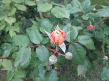 珊瑚玫瑰花蕾 库存照片
