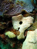 珊瑚白色 库存图片