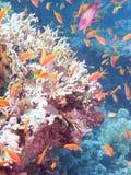 珊瑚的颜色 免版税库存照片