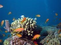 珊瑚的anthias 免版税库存照片