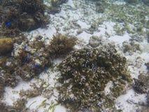 珊瑚的Dascillus殖民地 热带海滨水下的照片 库存图片