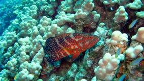 珊瑚石斑鱼在埃及的红海 库存图片