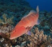 珊瑚石斑鱼大礁石 库存图片