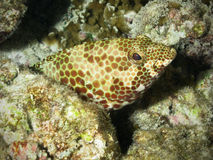 珊瑚石斑鱼礁石 免版税库存照片