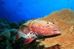 珊瑚石斑鱼红海 免版税库存图片