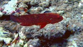珊瑚石斑鱼马尔代夫 免版税库存图片