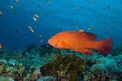 珊瑚石斑鱼 免版税库存图片
