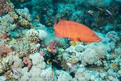 珊瑚石斑鱼 库存照片